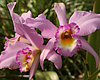 Tease photo for San Diego Orchid Growers Harvest Passion And Memories