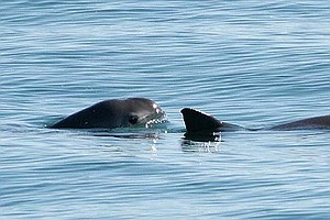 Researchers Trying To Save Endangered Marine Mammal Stop ...