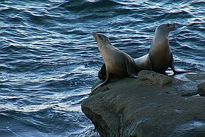 La Jolla Sea Lion Situation Now A 'Crisis'