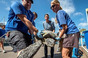Green Sea Turtle Rests At SeaWorld After Rescue