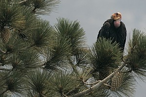 Once Near Extinction, California Condors Face New Threat:...