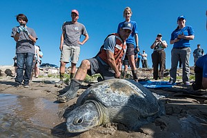 Rescued Sea Turtle Returns To San Diego Bay