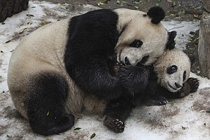 Giant Pandas Are No Longer Endangered, Experts Say