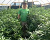 How Will Small Marijuana Growers Stay Competitive If California Leg...