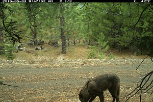 Tease photo for California Gray Wolves Are Keeping Their Endangered Species Protections