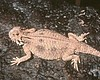 California Rejects Flat-Tailed Horned Lizard's Bid For Endangered S...