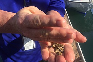 Tease photo for Port Tries Growing Oysters In San Diego Bay
