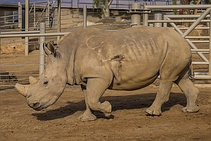 Tease photo for San Diego Safari Park Staff Find Bullet In White Rhino