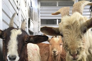 Tease photo for Dozens Of Goats Rescued From Property In Jamul