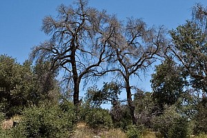 Fixing California's Tree Die-Off May Take Decades