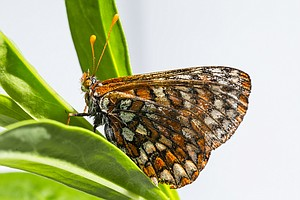 Tease photo for Rare Butterfly Returns To San Diego National Wildlife Refuge