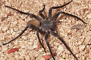 Researchers At The Nat Discover Large Spider In Baja