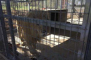 Tease photo for Rare White Lion Arrives In San Diego County