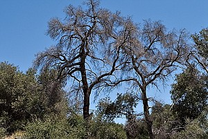 'Unprecedented' Tree Die-Off Hits Southern California
