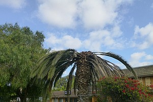 Beetle That Has Killed Palm Trees In San Diego County Cou...