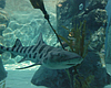Tease photo for Increasing Number Of Leopard Sharks O...