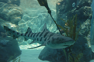 Increasing Number Of Leopard Sharks Off La Jolla Attracts...