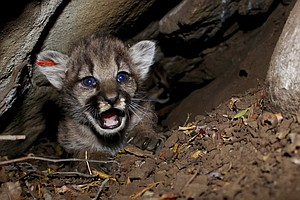 Researchers Find 4 Mountain Lion Kittens In Southern Cali...