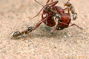 Device Podcast: Ants In 'The Poisonwood Bible' Versus Ants In Real Life