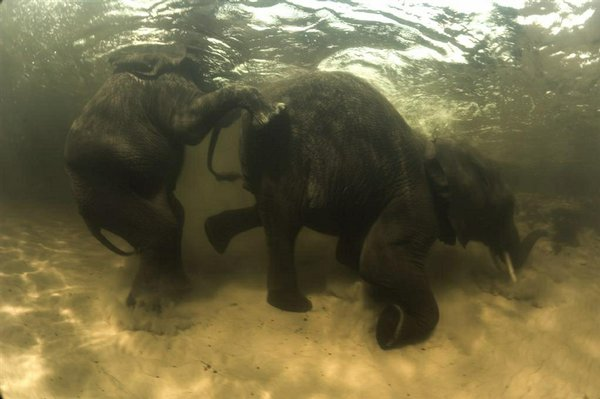 Elephants under the water in Earth
