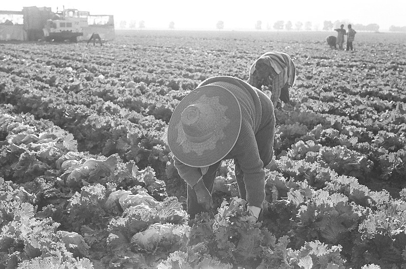 Farmworkers picking lettuce in the Imperial Valley.
