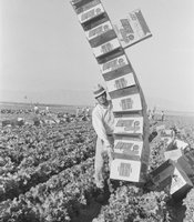 """The Balancing Act"" Farmworker balancing empty boxes in an Imperial Valley lettuce field."