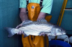 Striped bass, Morone Saxatilis