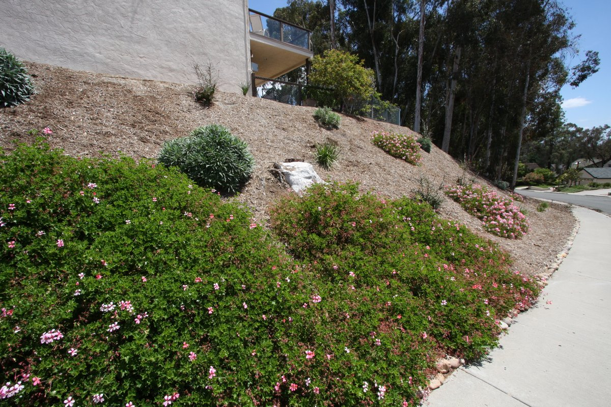 How to plant ground cover on steep bank - Jacobs Converted A Steep Slope On The South Side Of The Home From Ice Plant To