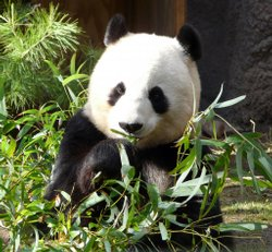 Bai Yun, a 17-year-old giant panda, was announced by the San Diego Zoo today ...