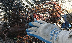 One of 20 traps in San Diego Bay used for spiny...