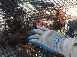 One of 20 traps in San Diego Bay used for spiny lobster research.