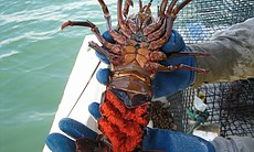 This female spiny lobster is carrying eggs (bri...