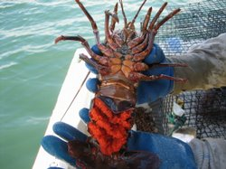 This female spiny lobster is carrying eggs (bright orange).