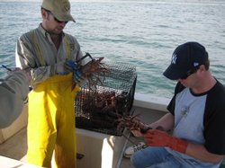Travis Buck (left) and Kevin Hovel (right) measure lobsters from one of 20 tr...