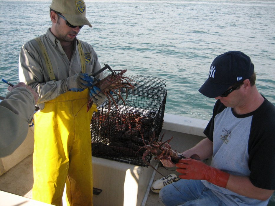 tracking spiny lobsters in san diego bay kpbs