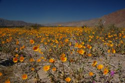 Spring wildflowers bloom in Henderson Canyon in Anza Borrego State Park. The ...