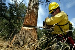 A U.S. Forest Service worker cuts down a drought-weakened cedar tree near Idy...