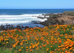 California poppies grow along the coast at Montana De Oro State Park. It is one of dozens of California State Parks threatened with closure due to California's budget crisis.