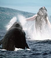 Two breaching humpback whales.