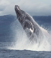 Breaching humpback whale off Maui.