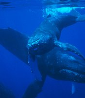 Mother and calf humpback whales off Maui.