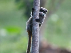 An emperor tamarin monkey clings to a tree in the Amazon basin near Madre de ...