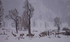 Elk in Lamar Valley (3062)
