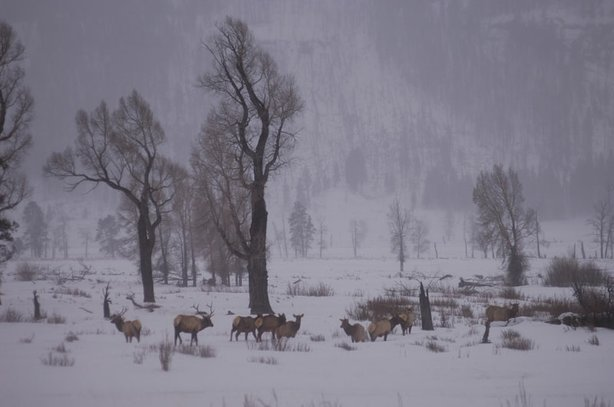 Elk in Lamar Valley