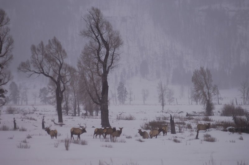 Nature: Christmas In Yellowstone (Photo Gallery) | KPBS