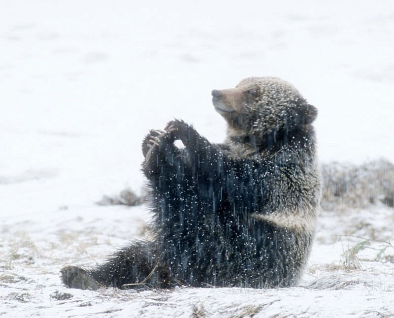 A grizzly bear plays with his toes in Yellowsto...