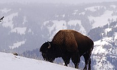 Bison in Lamar Valley (3064)