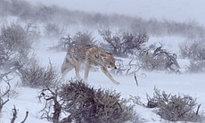 A coyote walks among sagebrush in this breathta...