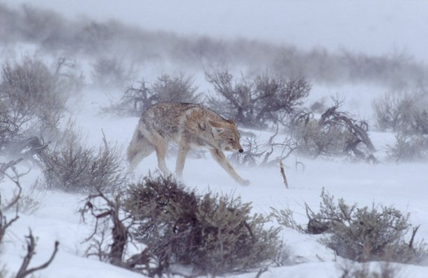 A coyote walks among sagebrush in this breathtaking look at wintertime deep within America's first national park.