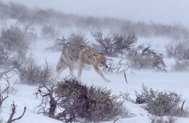 NATURE: Christmas In Yellowstone | KPBS